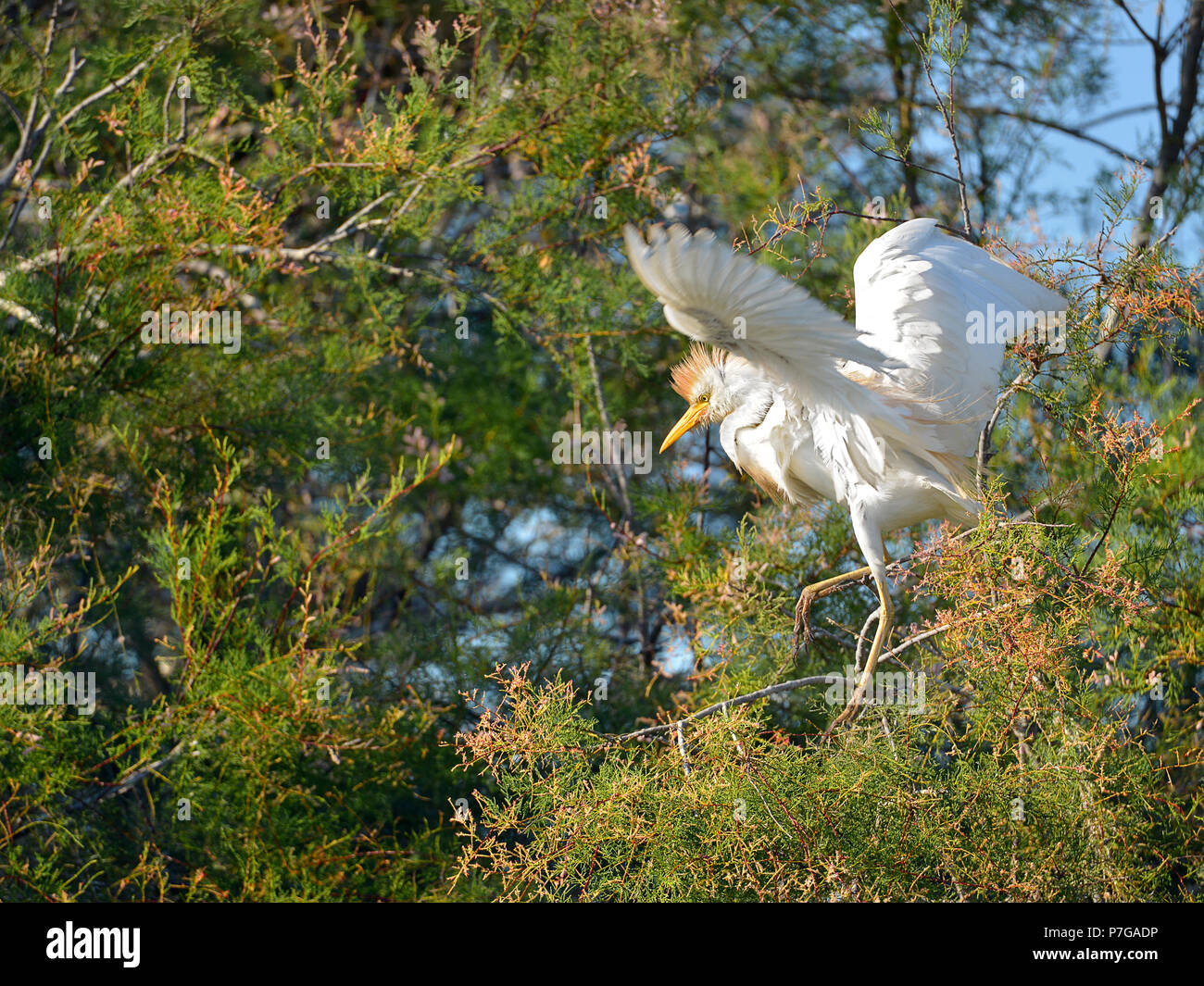Cattle egret (Bubulcus ibis) in tree, open wings, in the Camargue is a natural region located south of Arles, France, between the Mediterranean Sea an Stock Photo