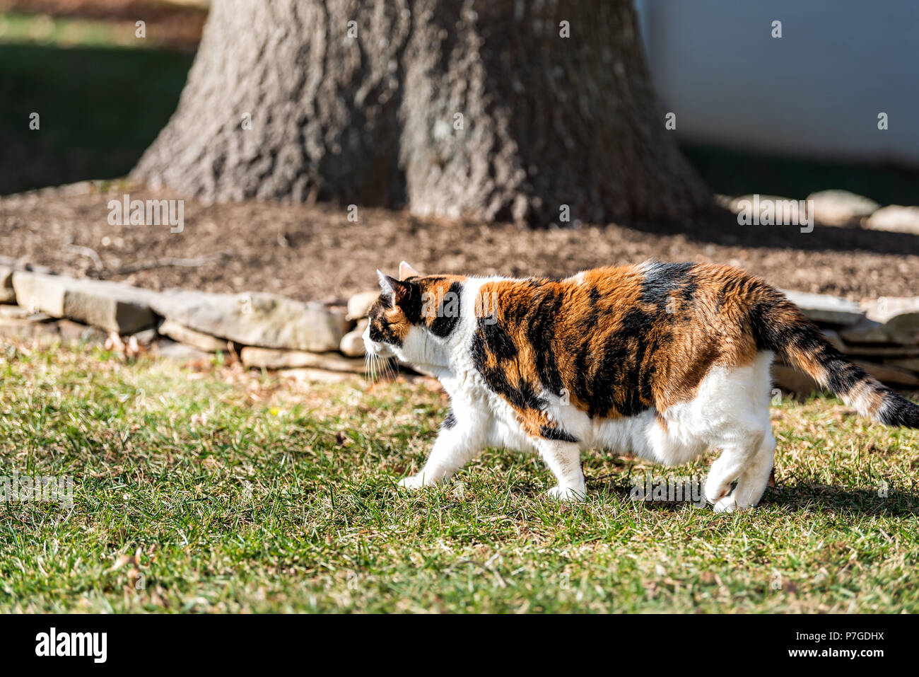 Cautious outdoors calico cat outside walking in garden, curious in front or back yard of home or house with tree - Stock Image