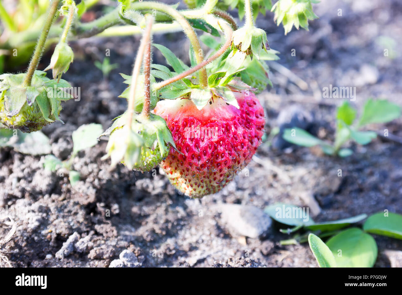Ripe berry of strawberry on a bed in the garden - Stock Image