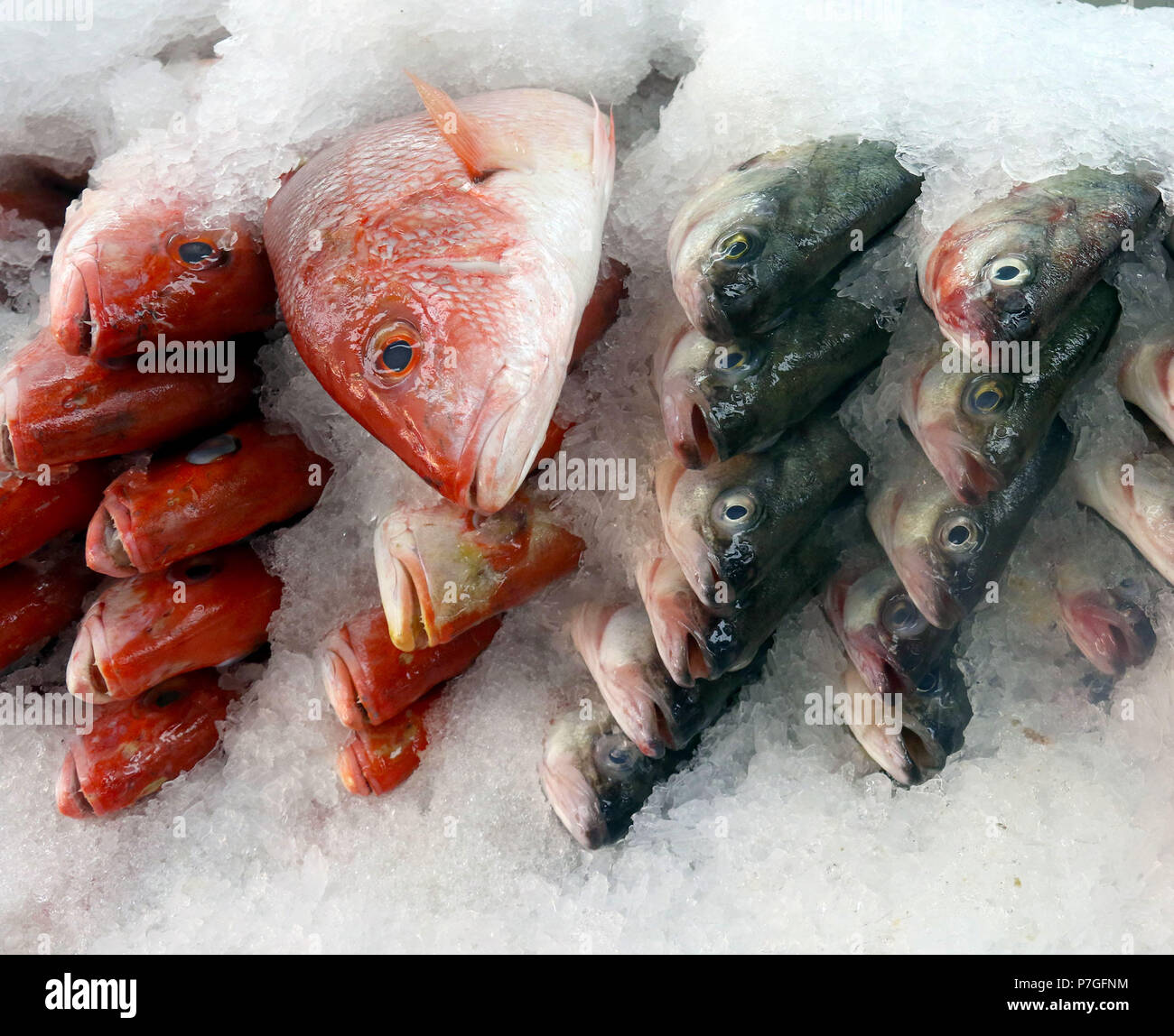 Wild whole red snapper on ice Stock Photo