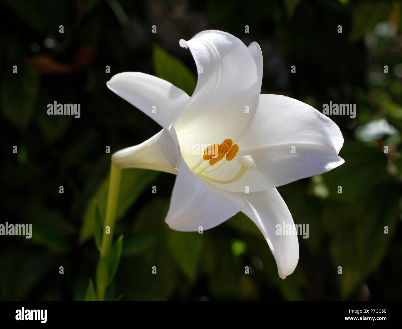 Beautiful Easter Lily Flower In Blossom White Six Petals Trumpet