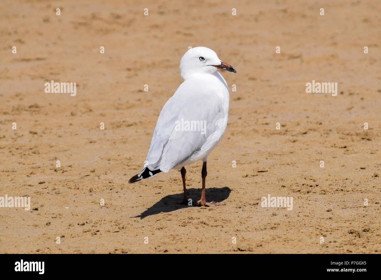 Seagull on the beach - Stock Image