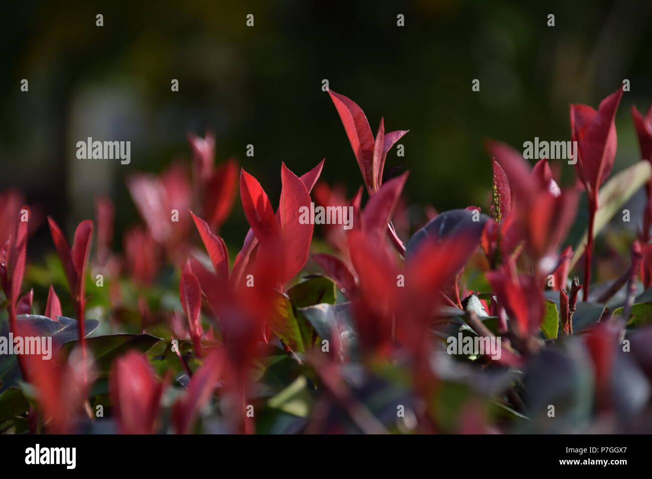 red leaves - Stock Image