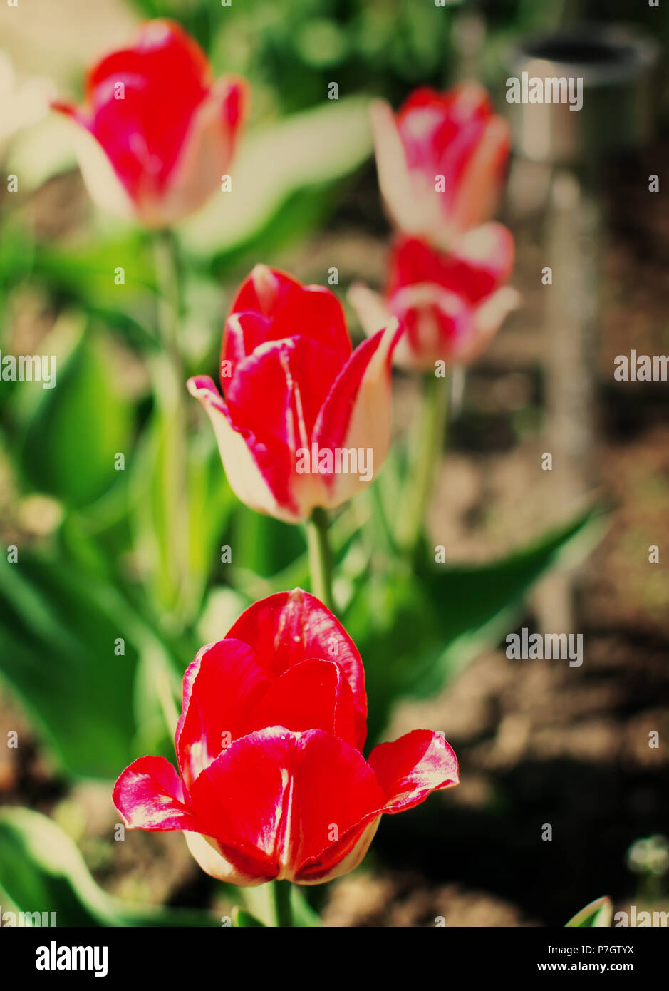 Vibrant two-tone red Greigii tulips with their variegated foliage in the spring garden under morning spring sun. - Stock Image