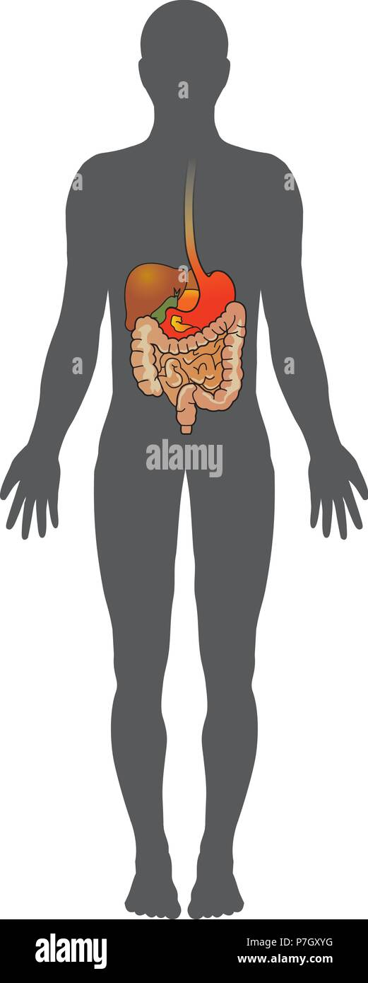 Digestive Process Stock Photos Digestive Process Stock Images Alamy