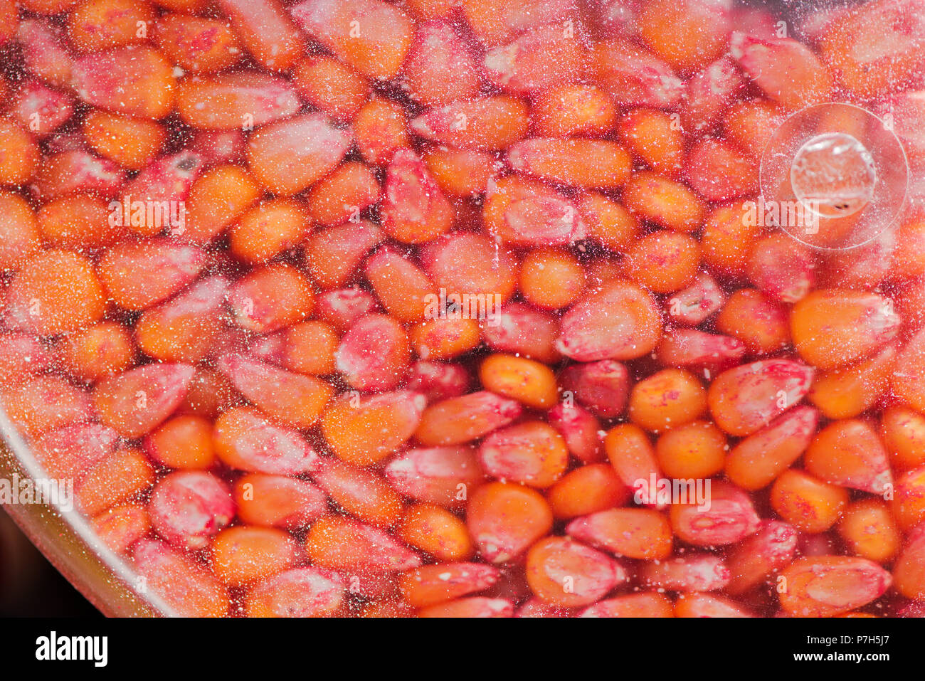 Chemically treated corn maize seed in seeding machine, close up detail with selective focus Stock Photo