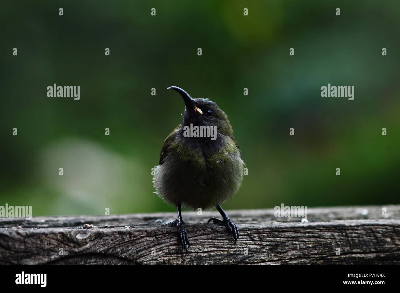 Female golden winged  sunbird siting in wooden structure in garden , blurred background - Stock Image