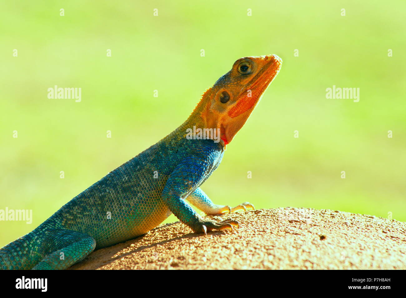 Beautiful Agama Red and blue lizard, isolated with green background on a sunny day , photo taken from Baringo lake shore, kenya, Africa Stock Photo