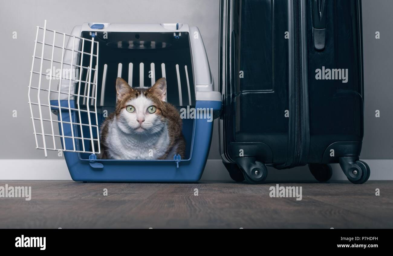 Traveling with a cat - Tabby cat looking anxiously from a pet carrier next to a suitcase. - Stock Image