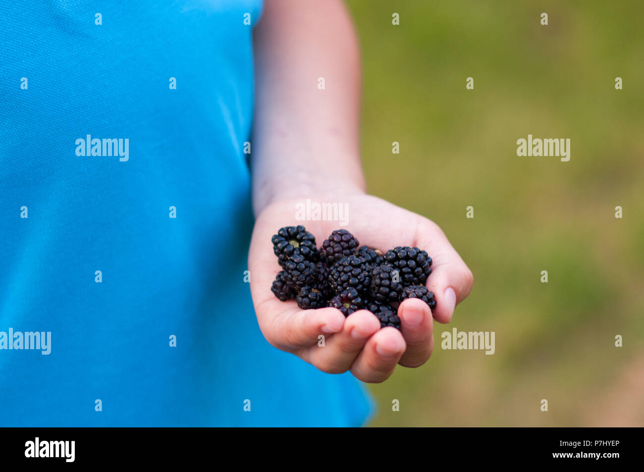 Handful with ripe blackberries - close up of a child's hand - Stock Image