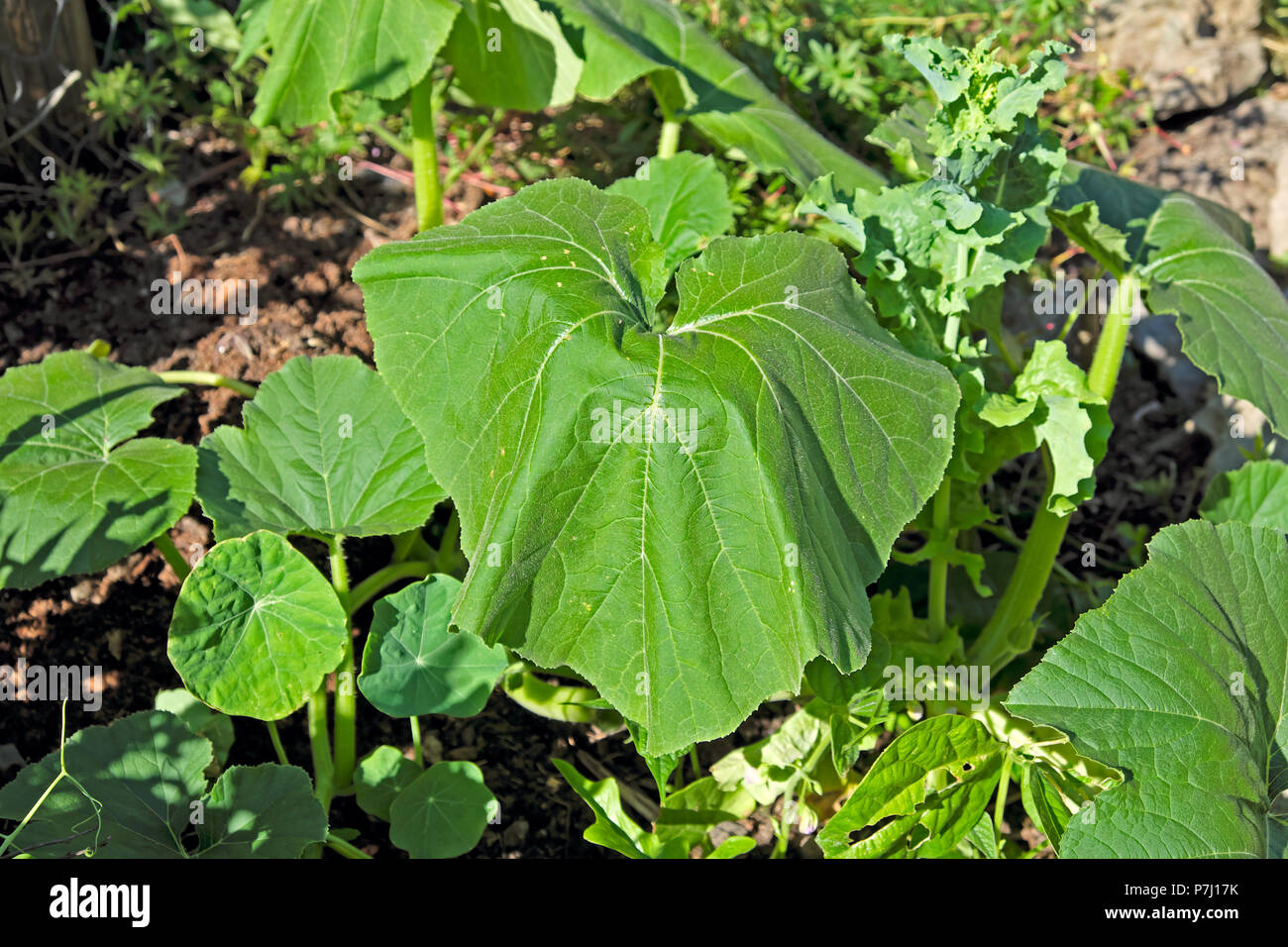 Squash plant growing in the garden wilting in the heatwave on a hot summer day in June 2018 West Wales UK  KATHY DEWITT - Stock Image