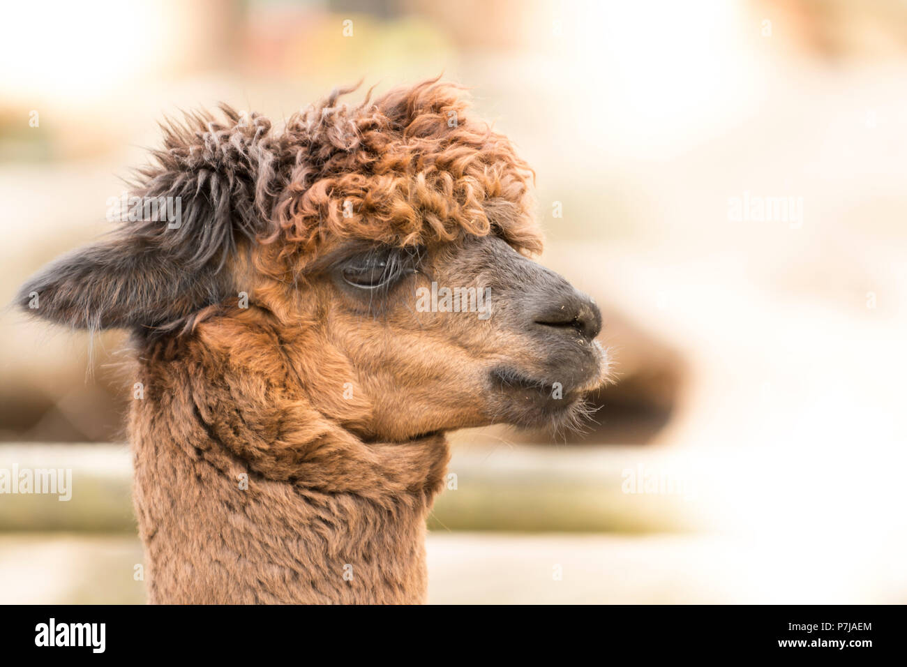 A side portrait of a Suri alpaca with crinkled coat hair. Copy Space - Stock Image