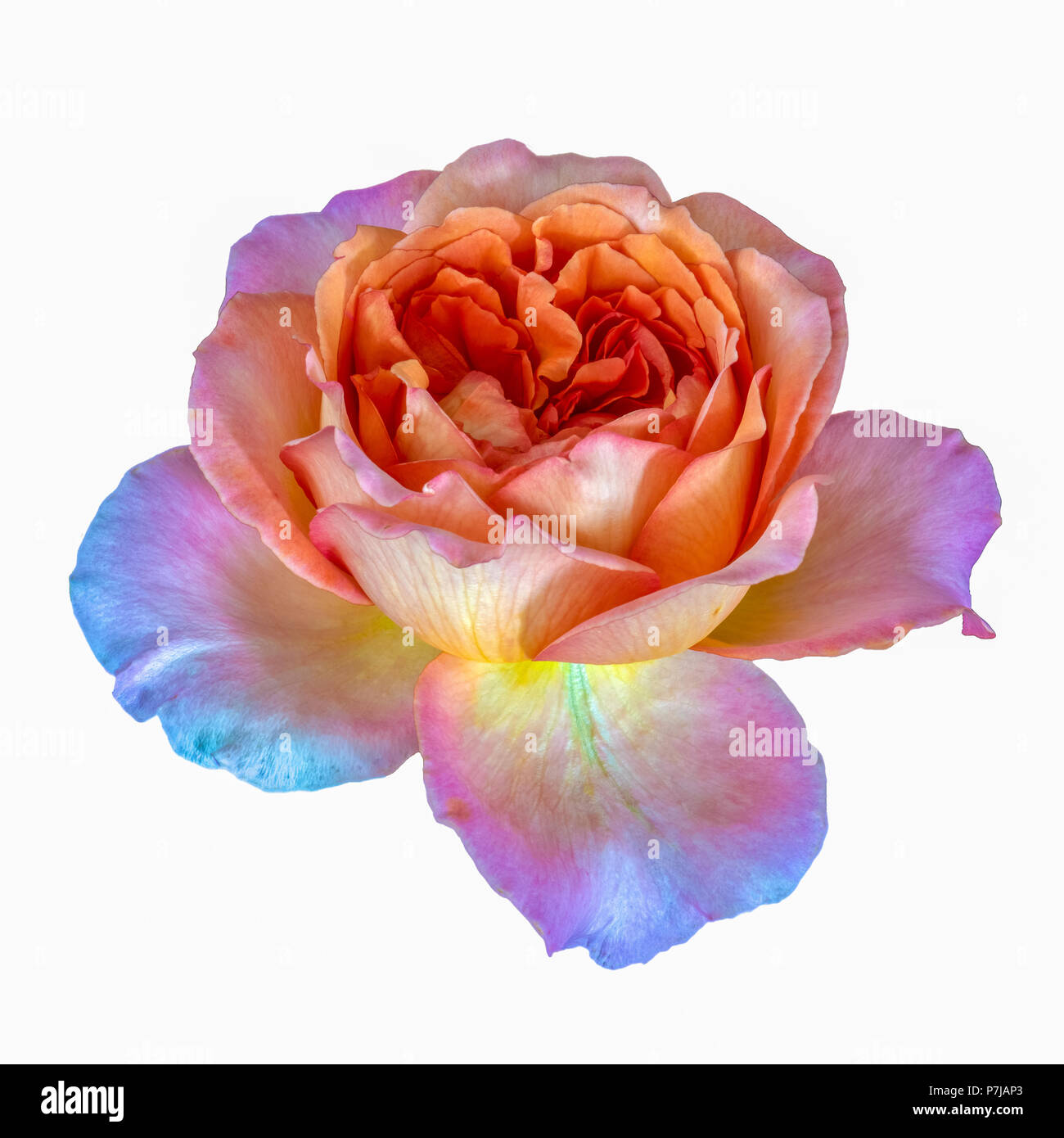 Pastel Watercolor Fine Art Still Life Floral Macro Flower Image Of A Single Isolated Orange Violet Flowering Blooming Rose Blossom White Background