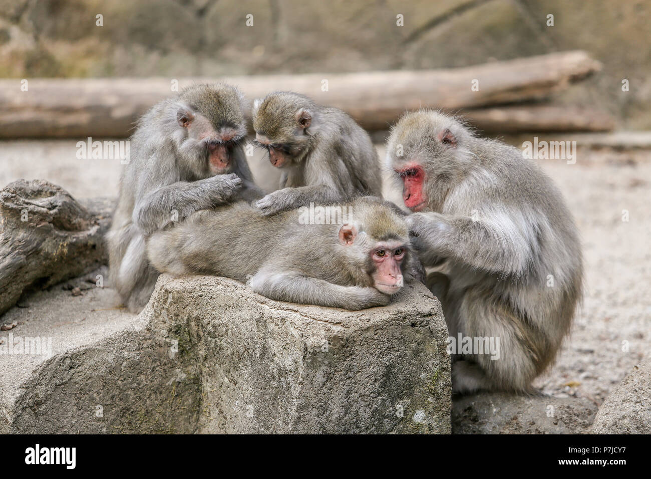 Monkeys Grooming Each Other High Resolution Stock Photography and Images -  Alamy
