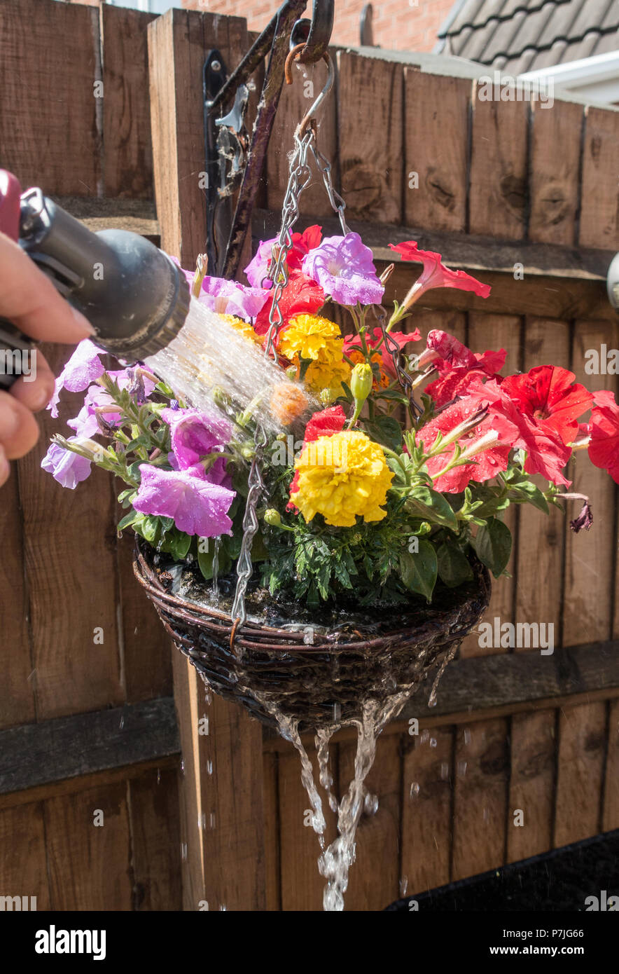 watering colourful flowers in the garden with a hosepipe in England, UK - Stock Image