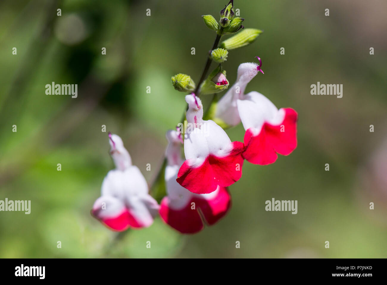 The flowers of a sage 'Hot Lips' (Salvia 'Hot Lips') Stock Photo
