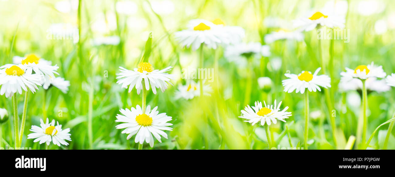 Daisies, flower meadow in the sunlight, banner - Stock Image