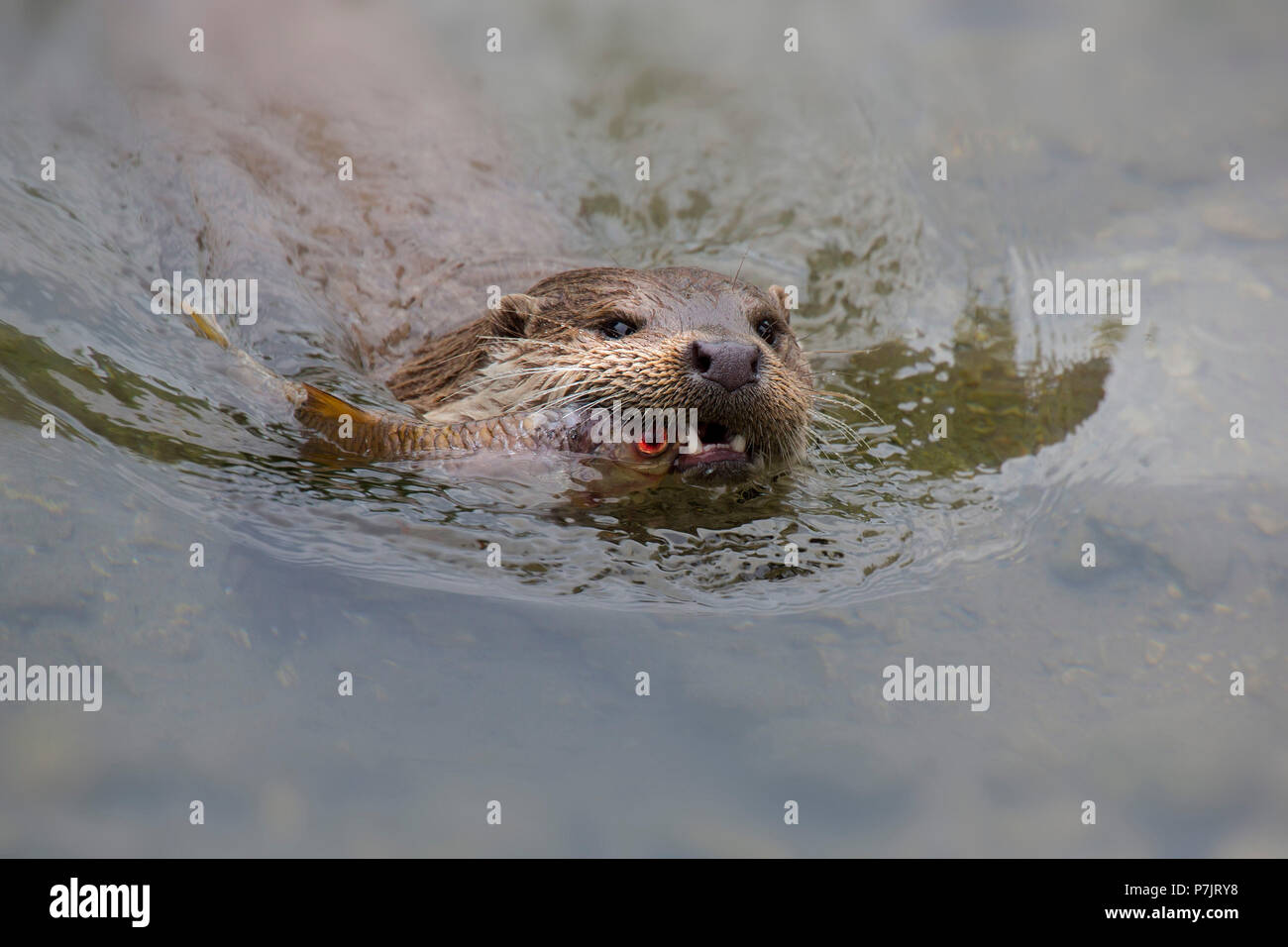 Eurasian otter, Lutra lutra swimming with captured fish in the water - Stock Image
