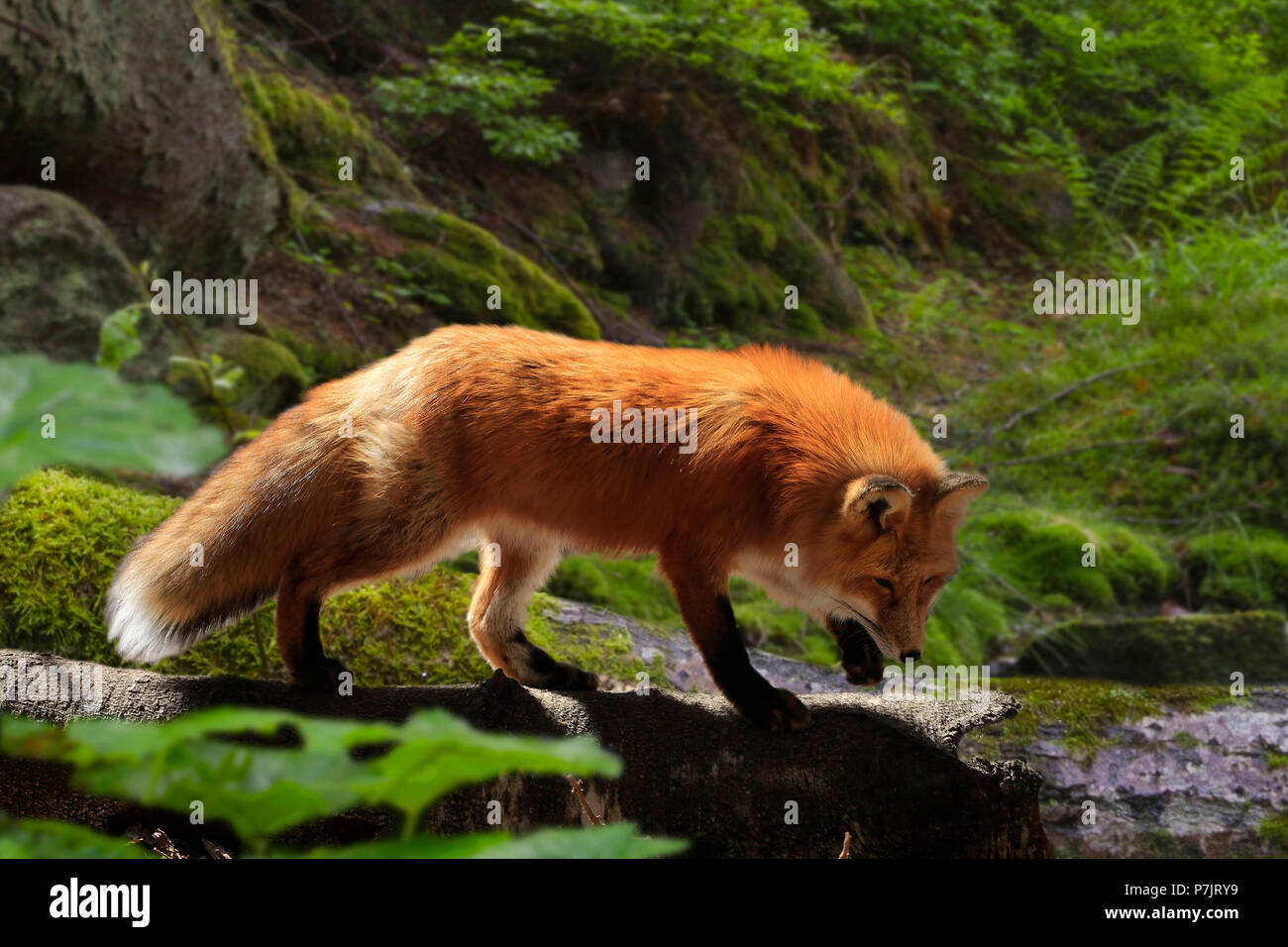 Red fox, Vulpes vulpes in a forest, Bavaria, Germany, Europe - Stock Image