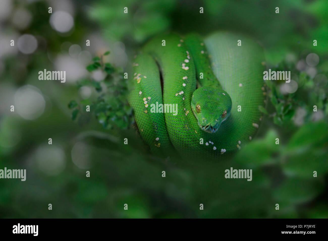 Green Tree Boa Stock Photos & Green Tree Boa Stock Images - Alamy