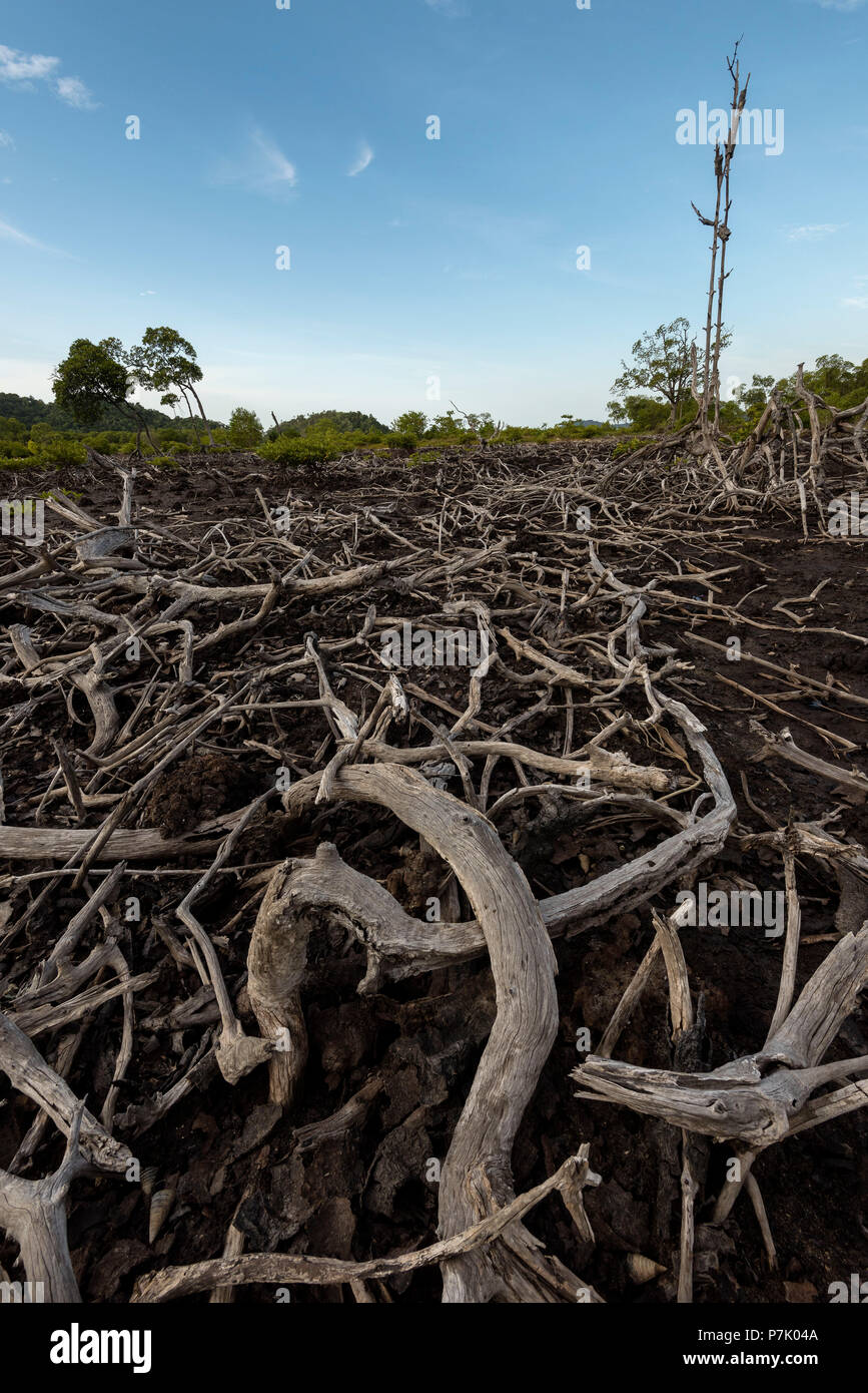 Dead mangrove forest on Pulau Weh in Aceh, severely affected by the tsunami in 2004, - Stock Image