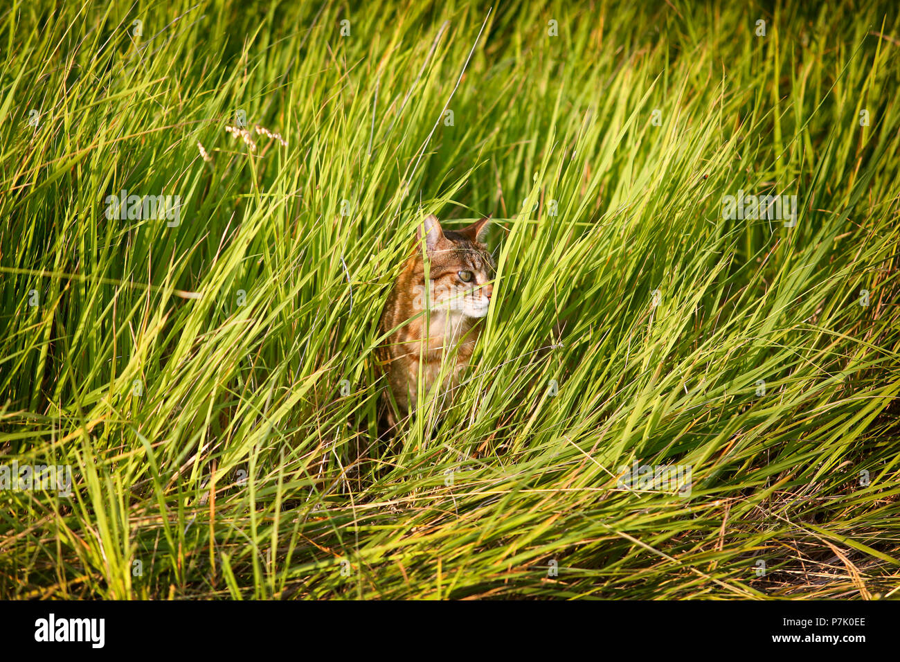 Domestic striped cat hiding in long grass. - Stock Image