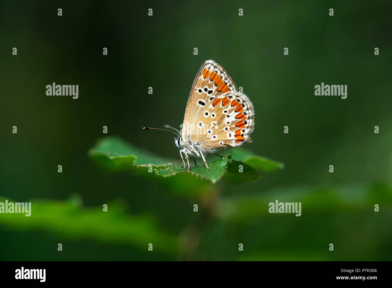 Brown Argus butterfly, Aricia agestis. - Stock Image