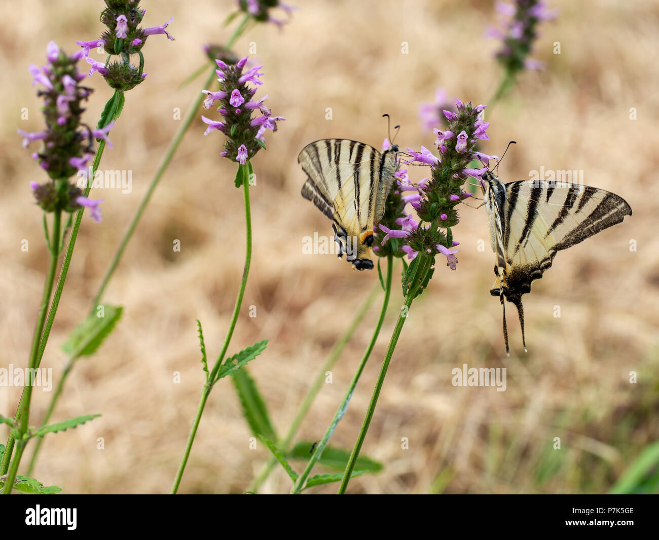 Closeup of yellow and black striped scarce swallowtail butterflies. Iphiclides podalirius. - Stock Image