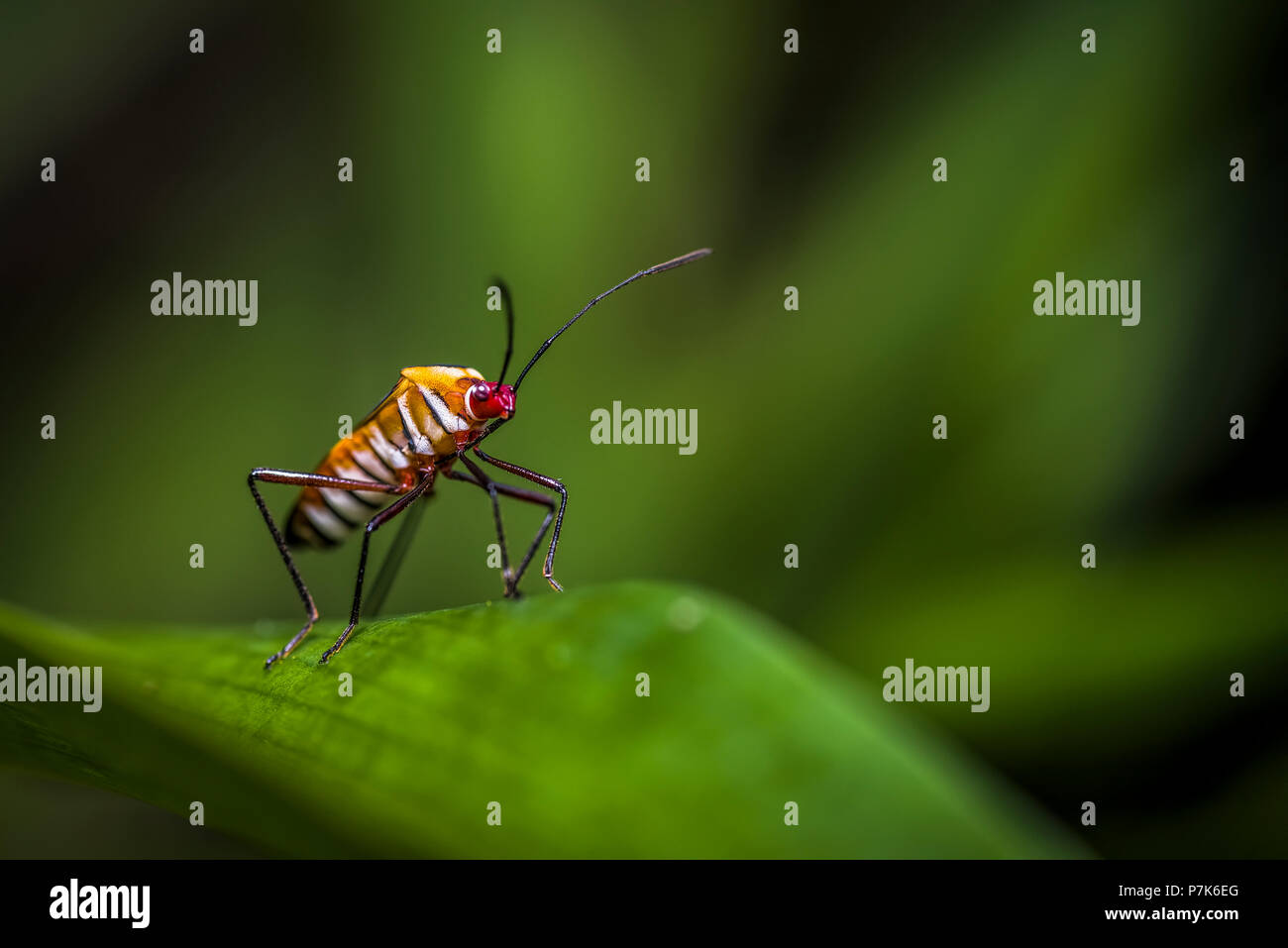 Rare looking mimicry insects in the cloud forest of Panama - Stock Image