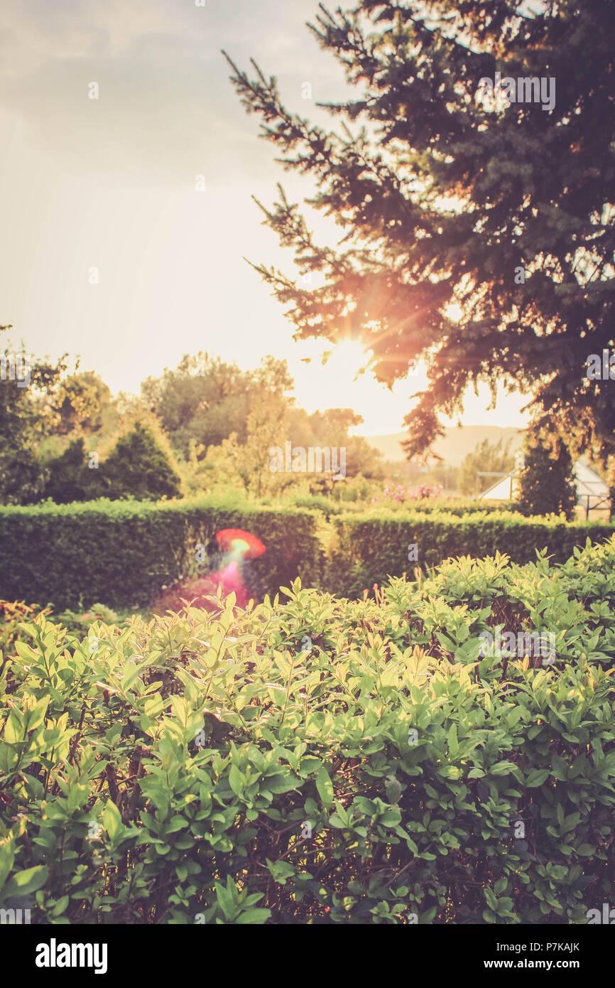 Hedge, tree, sun - Stock Image