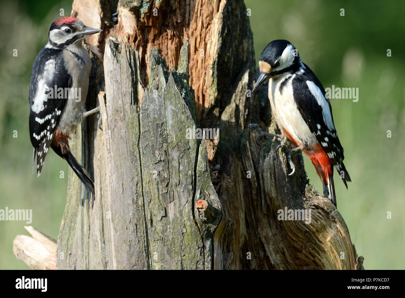 Great woodpeckers - Stock Image