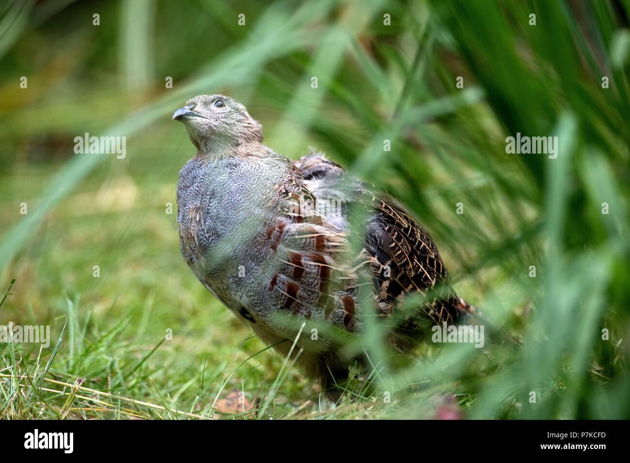 partridge - Stock Image