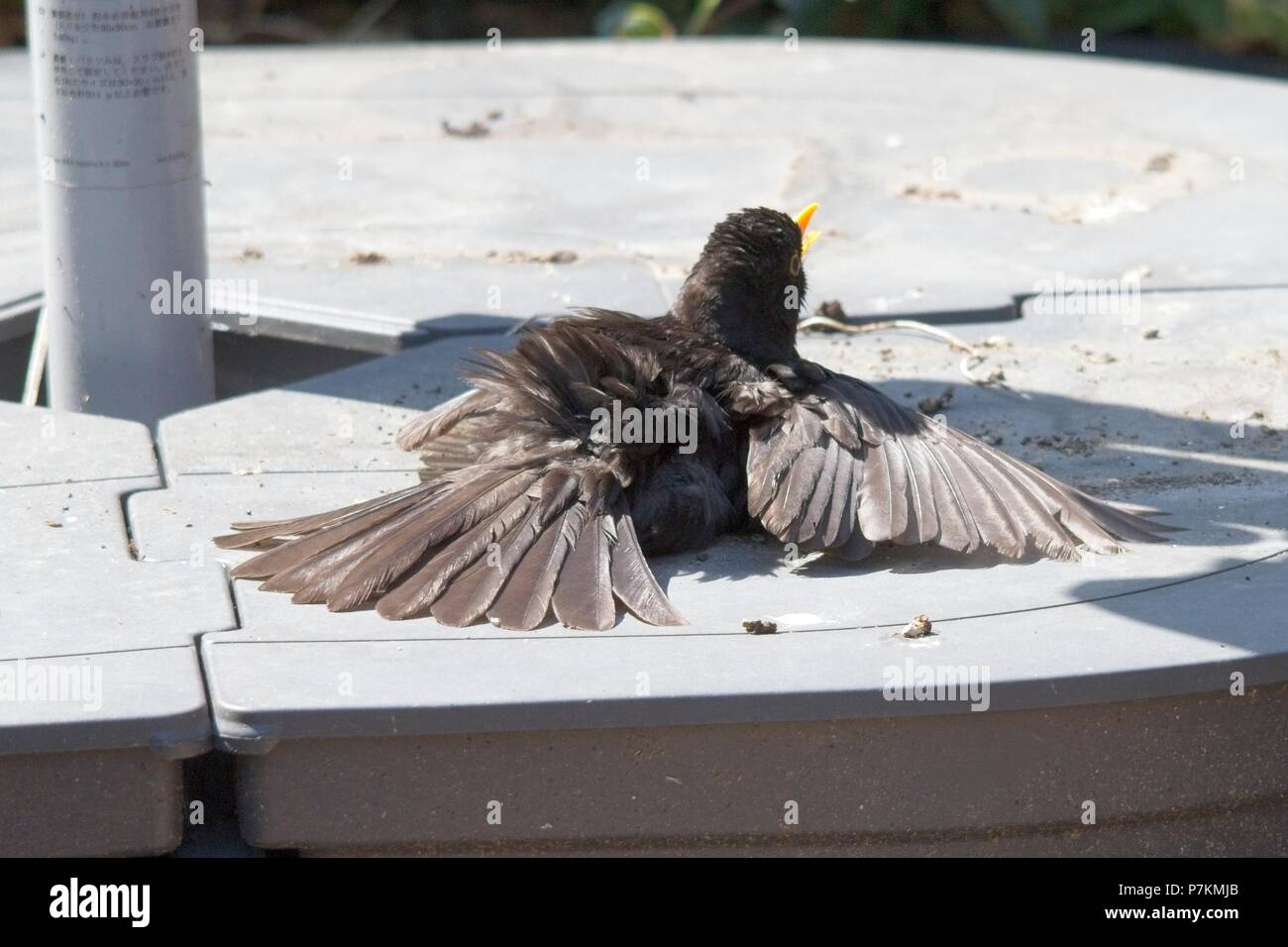 7th Jul 2018. UK weather. A male Blackbird (Terdus merula) suns itself in a garden in Sussex. As the hot weather continues, wildlife finds it increasingly difficult to keep cool. East Sussex, UK. Credit: Ed Brown/Alamy Live News - Stock Image