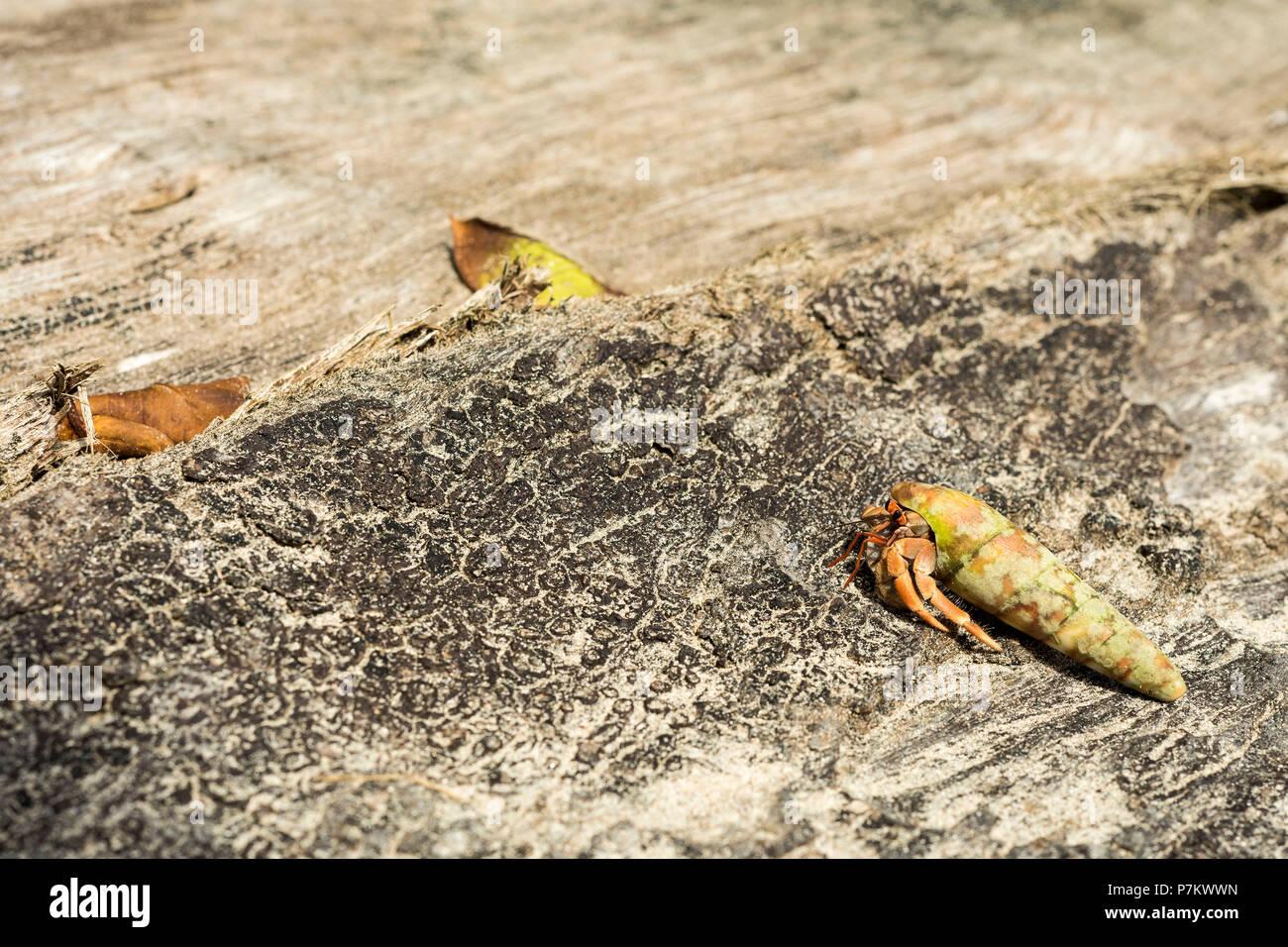 Hermit crab on the beach - Stock Image