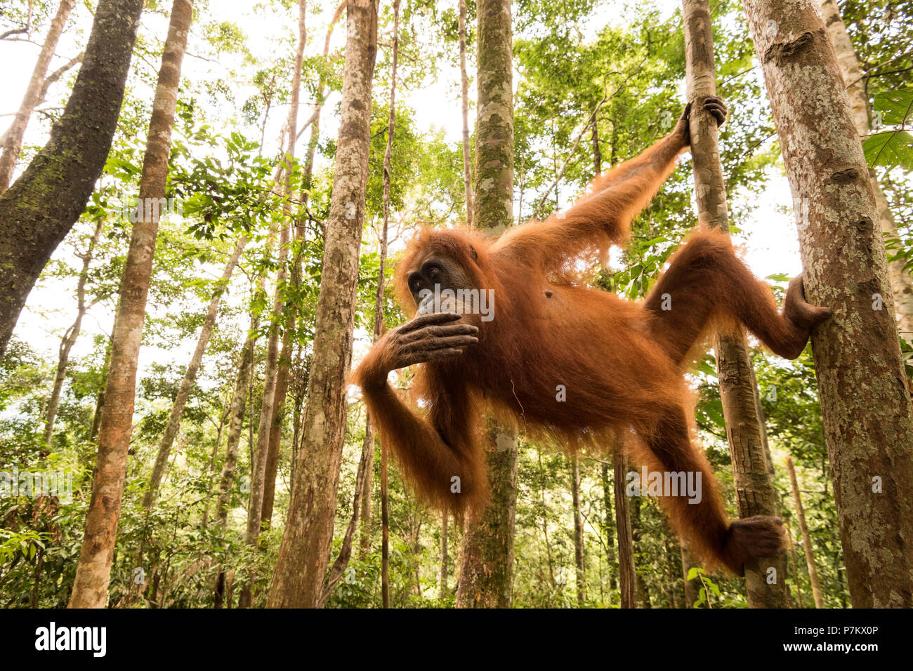 Orangutan in the jungle of Indonesia - Stock Image