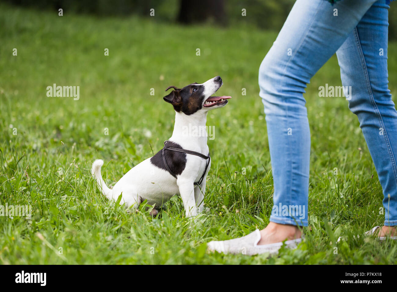 Cute dog Jack Russell Terrier looking and waiting for command from his owner in the nature - Stock Image