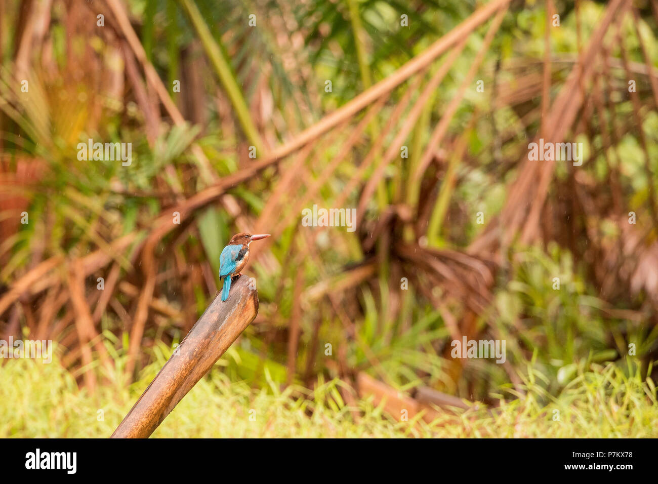 White-throated / White-breasted Kingfisher, Halcyon smyrnensis - Stock Image