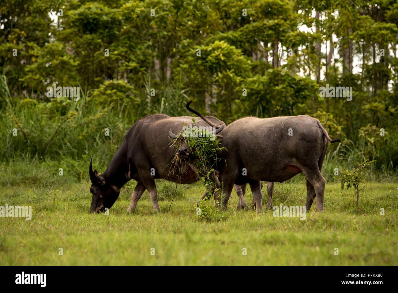 Semi-wild water buffalos - Stock Image