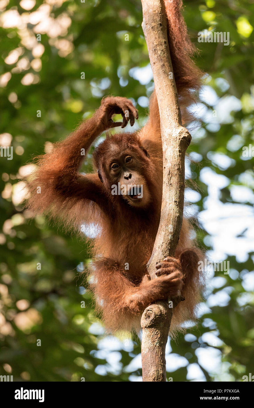 Young orangutan on thick branch - Stock Image