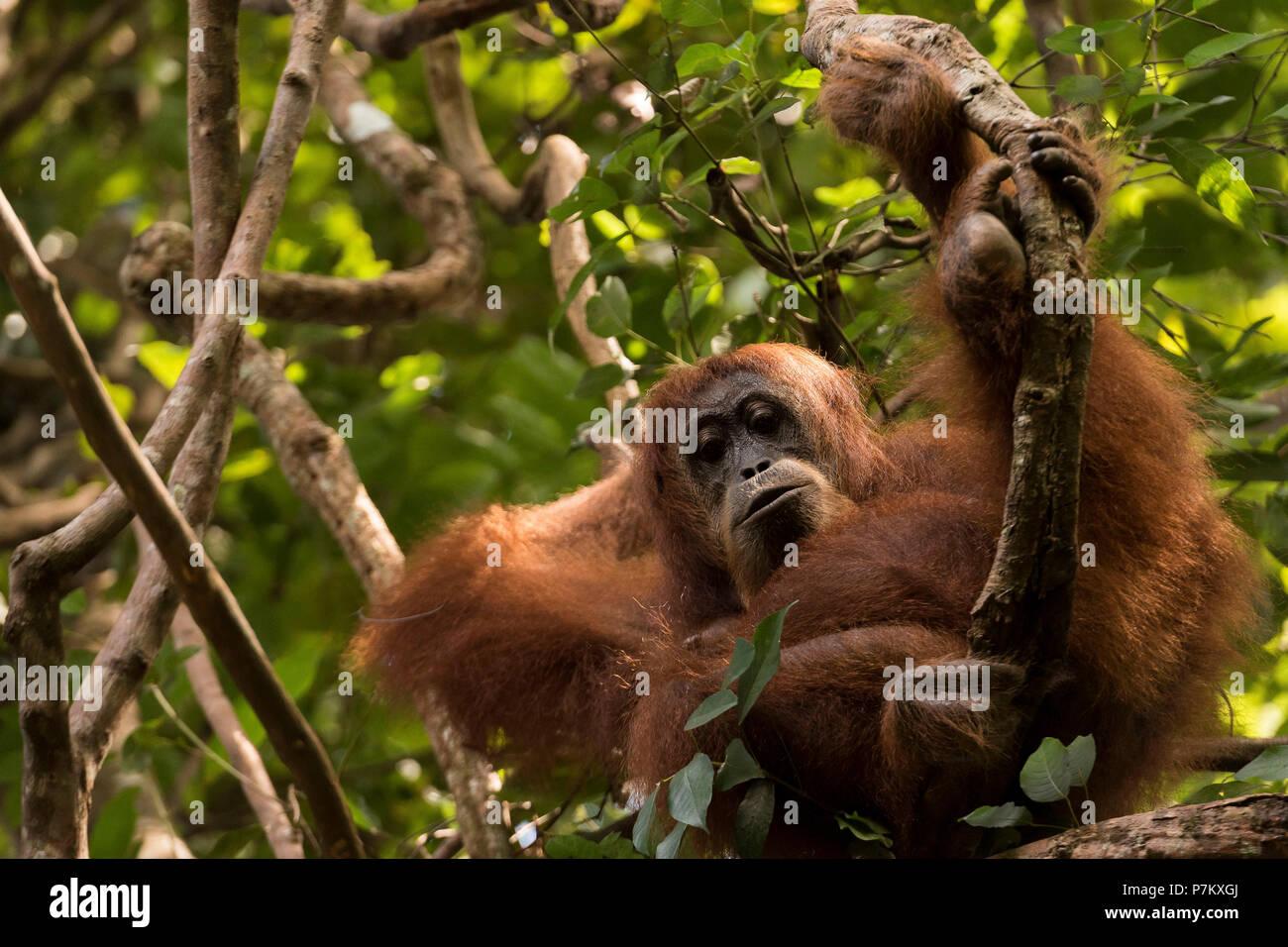 Cozy nap of a full-grown orangutan female in Gunung Leuser National Park - Stock Image