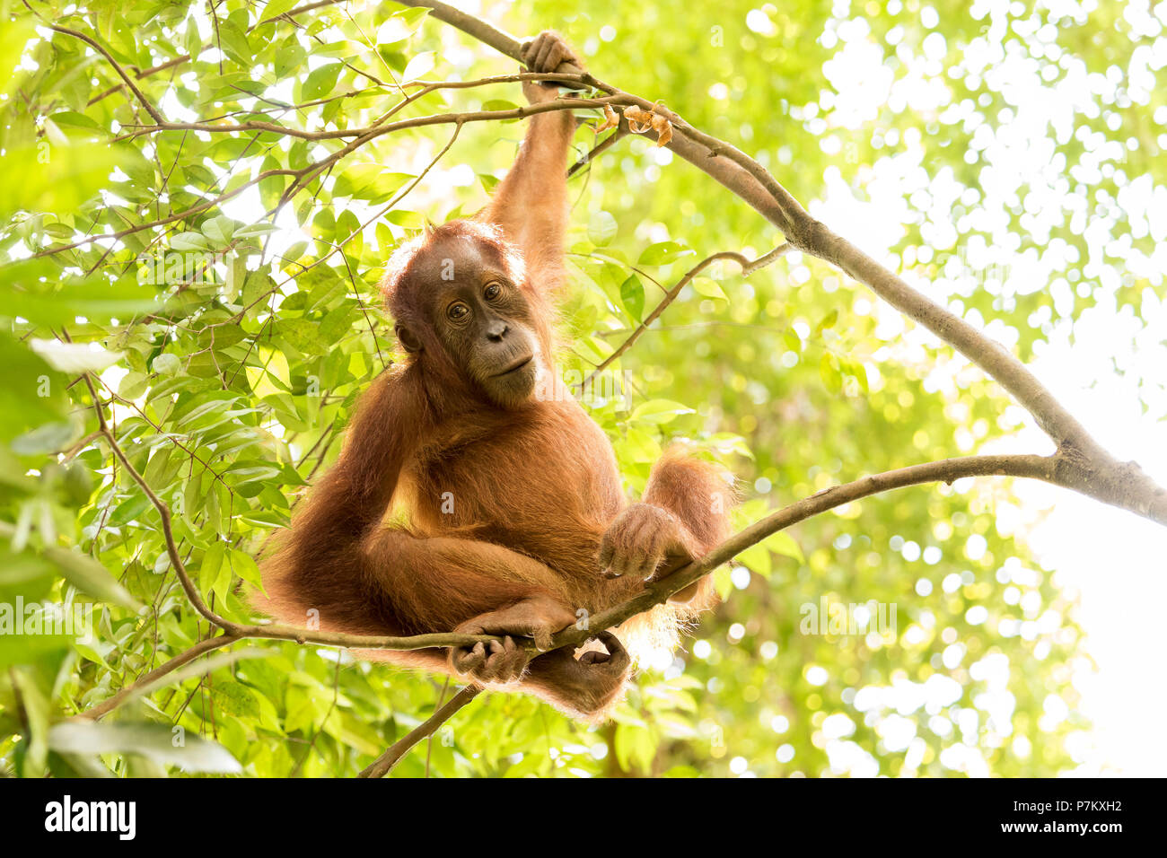 Young orangutan in the jungle, sitting on thin branches and looking relaxed into the camera, - Stock Image