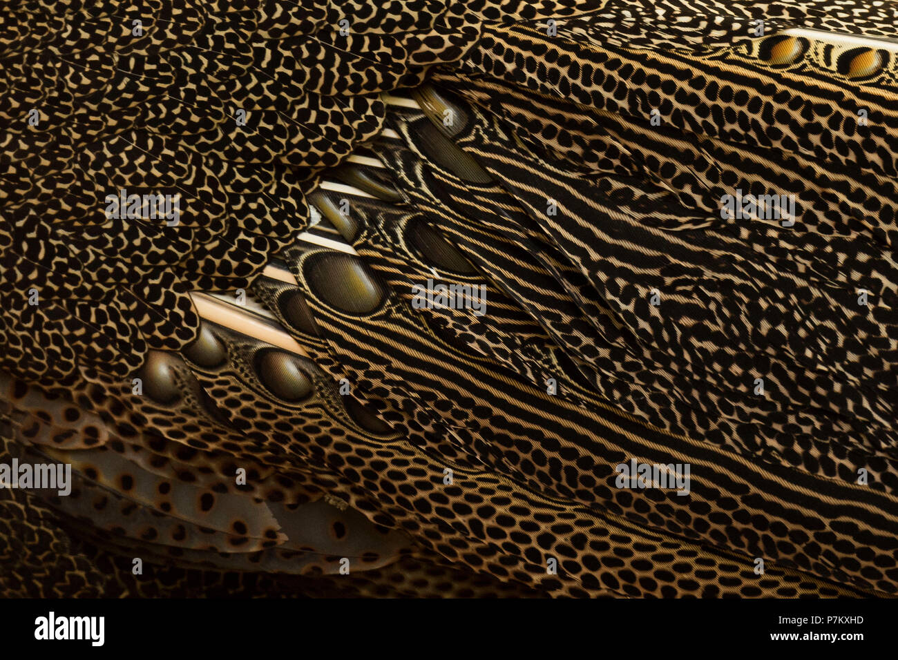 Plumage of an Indonesian great argus - Stock Image
