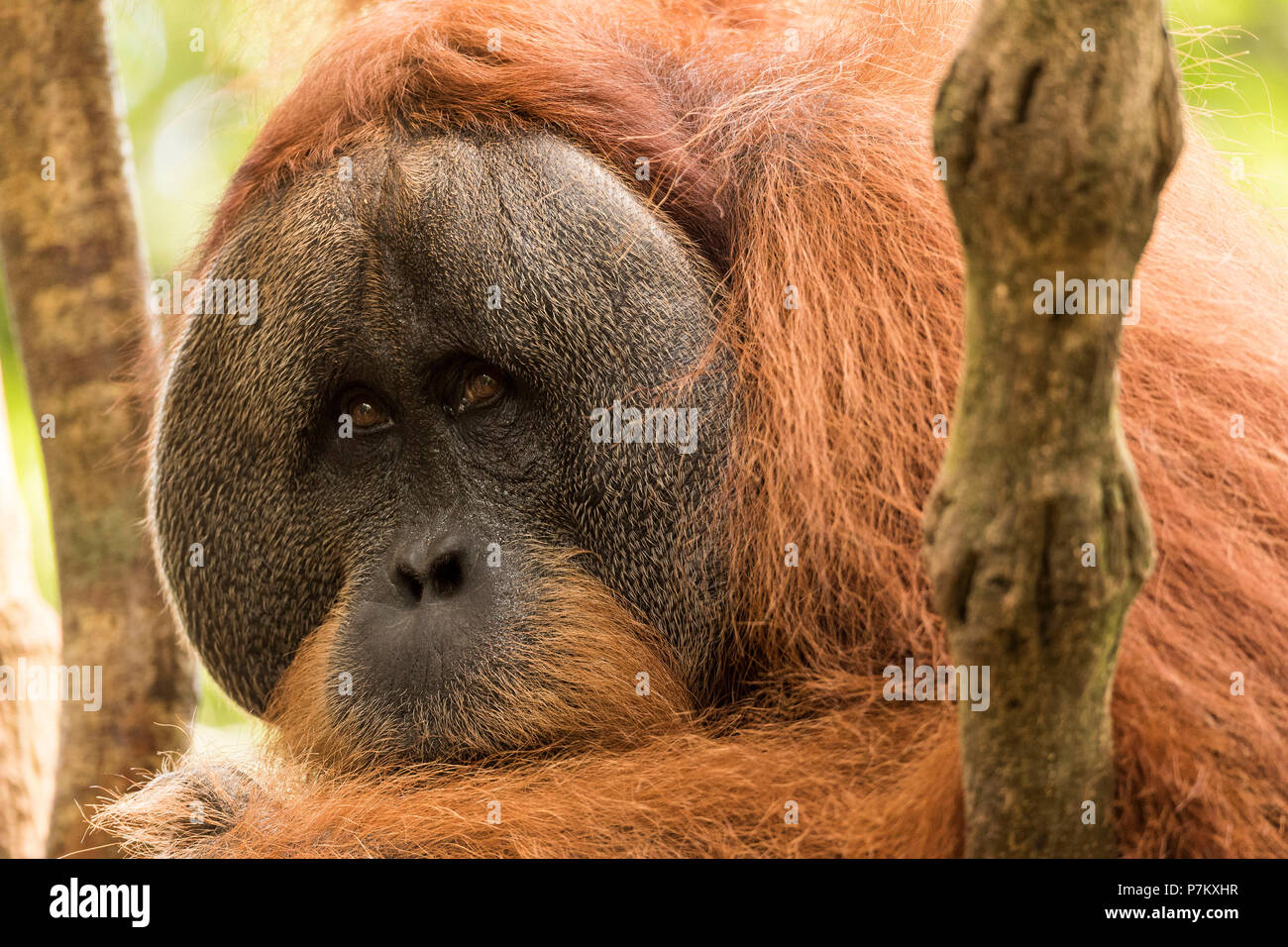 Male orangutan in the in indonesian jungle - Stock Image