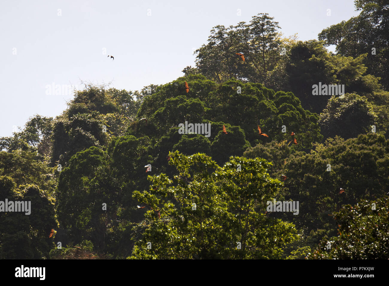 Indonesian flying foxes - Stock Image