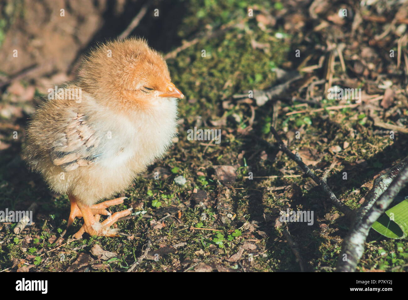 Close up image of a cute little free range baby chicken - Stock Image