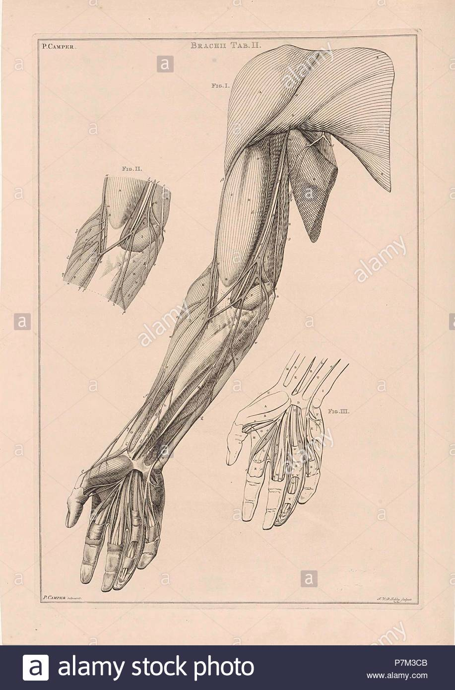 Anatomy Of The Arm Hand And Shoulder With Numbers Jacob Van Der