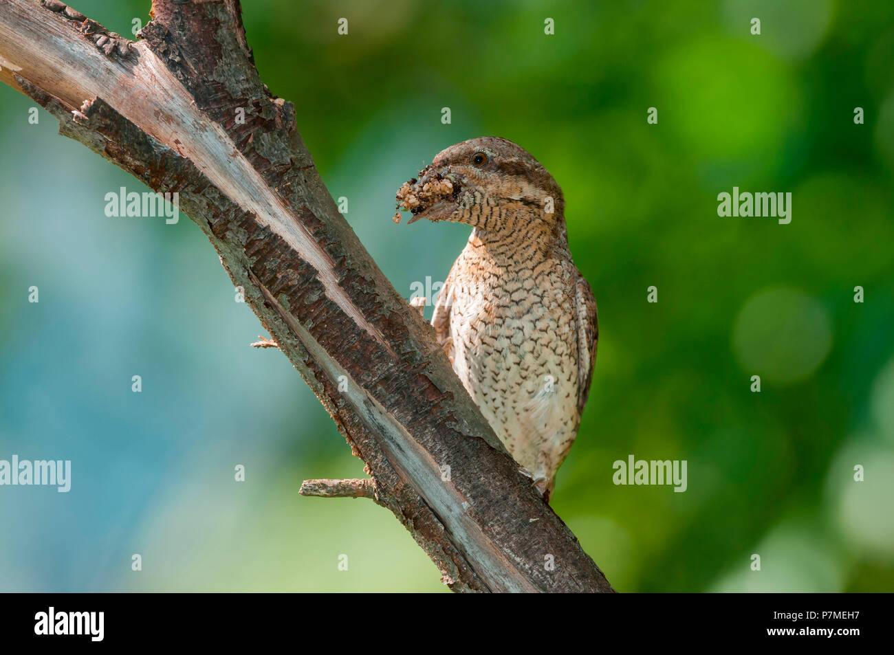 Eurasian Wryneck on the branch with cue, Trentino Alto-Adige, Italy - Stock Image