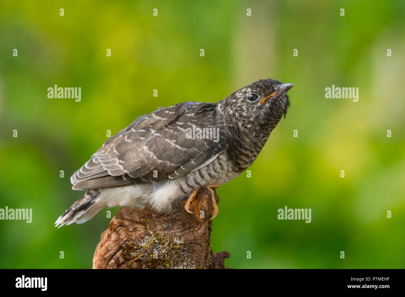 Common Cuckoo on the branch, Trentino Alto-Adige, Italy Stock Photo