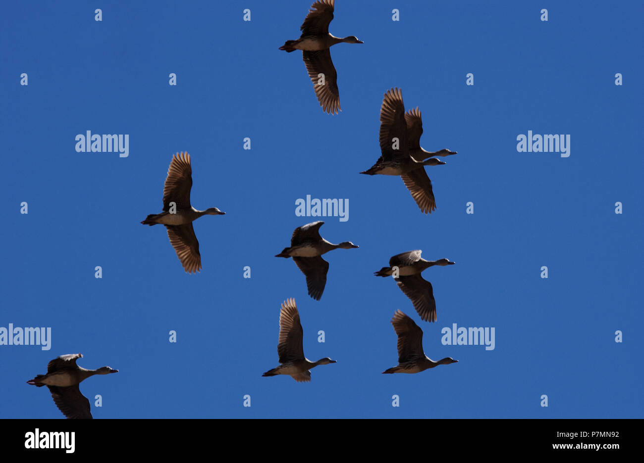 The whistling or tree ducks  are a subfamily, Dendrocygninae, of the duck, goose and swan family of birds, Anatidae. Seen here inflight against a blue Stock Photo