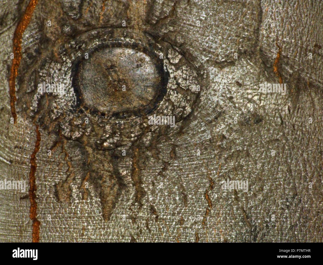 Rhytidome of European Beech (Fagus sylvatica) - Stock Image